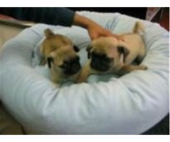 Good Pug puppies for adoption Text