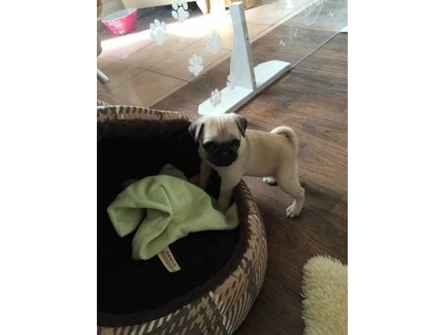 Nice pug puppies | free-classifieds-usa.com