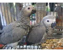 African Grey Parrots for free adoption