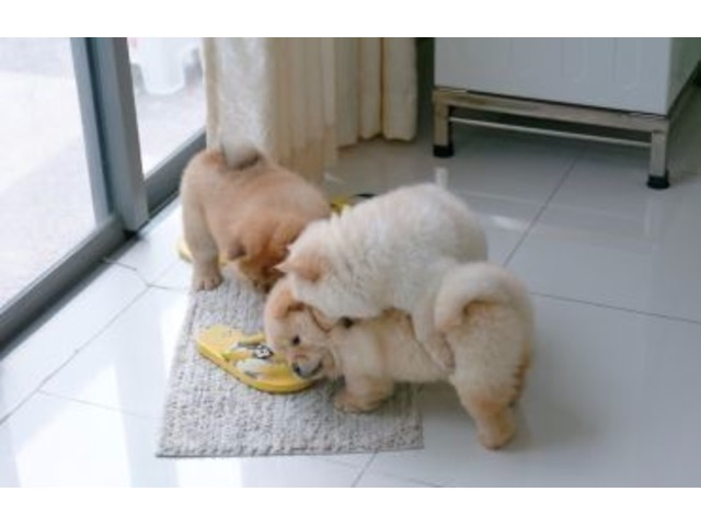 Chow Chow Puppies For Rehoming Animals Montgomery Alabama