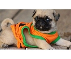 Beautifull Male and Female Pug puppies for sale