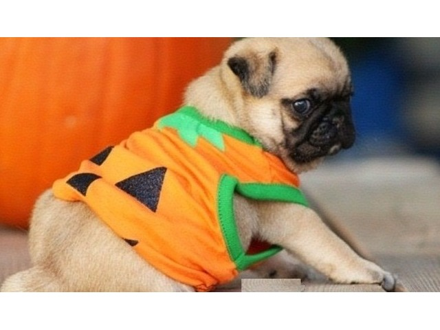Beautifull Male And Female Pug Puppies For Sale Animals Brandon