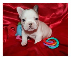 Beautifull ale and Female French Blldog puppies for sale