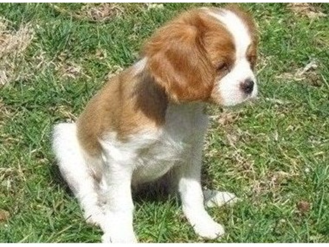 Socialize Cavalier King Charles Spaniel Puppies For Sale Animals