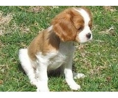 Socialize Cavalier King Charles Spaniel puppies for sale