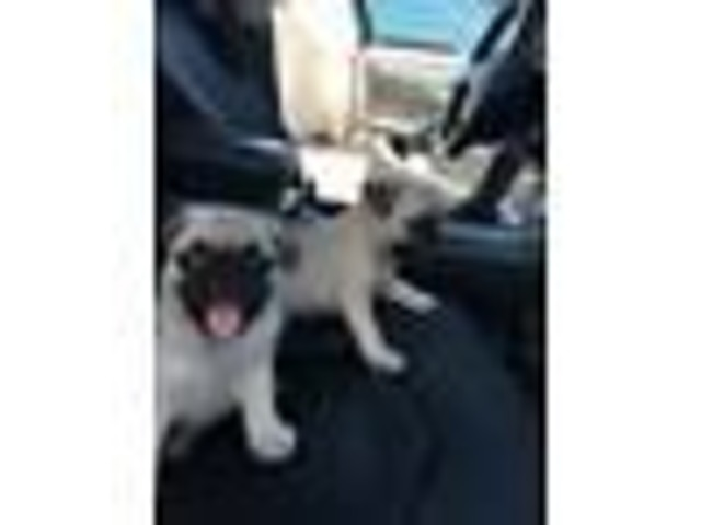 Reg Black Pug male and Female Puppy - Animals - Rock Springs