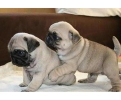 11 Weeks Male /female Pug Puppies Needs A New Home