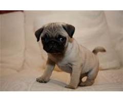 Urgent Urgent Purebred Pugs ready to go Home