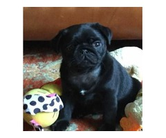 Dinadage male and female Pug puppies ready now