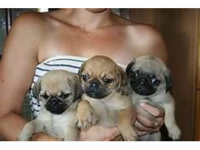 Slindid Pugs Puppies For Sale - Animals - Austin - Texas