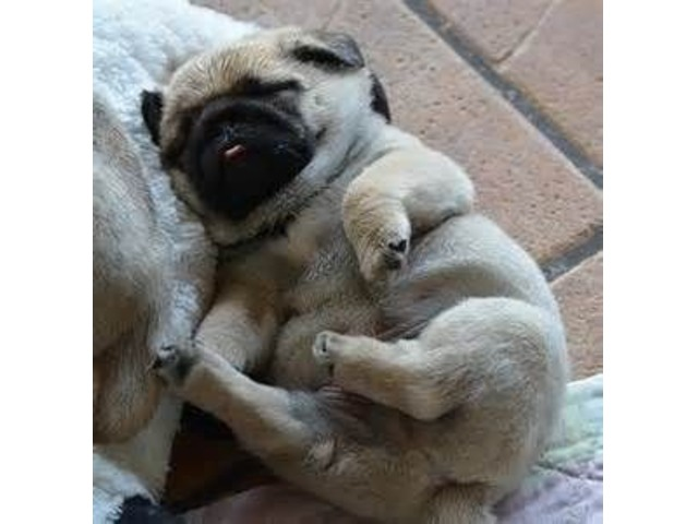Super Teddy Pug Puppies For Sale - Animals - Fort Worth