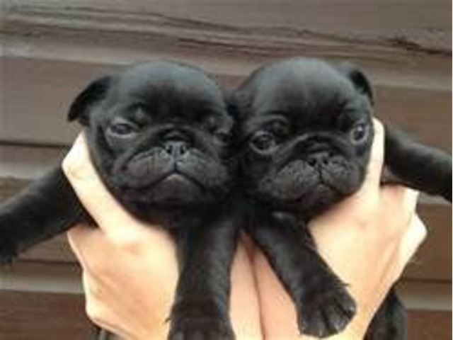 Charming And Playful Pug Puppies For Adoption Animals El Paso