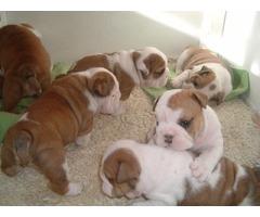 tiko male and female English Bulldog puppies