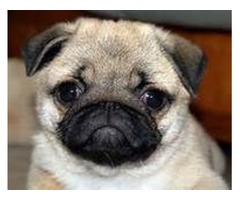 Darling AKC Pug Puppies Ready