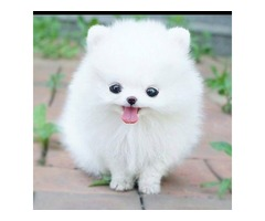 Super healthy and playful pomeranian pups to go!!