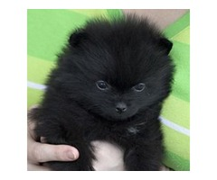 adorable little Pomeranian pups !! | free-classifieds-usa.com