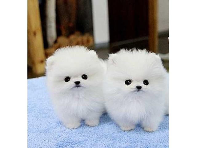 Amazing Platinum Micro White Pomeranian Puppies - Animals ... - photo#29