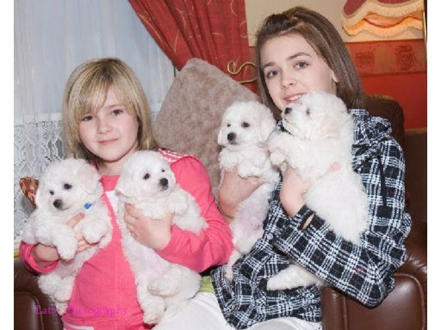 Snow white Bichon Frise Puppies available - Animals - Birmingham