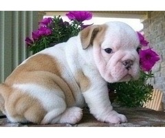 Available Male and Female English Bulldog puppies for sale
