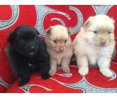 Adorable Pomeranian puppies