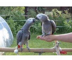 A fantastic take African gray parrots bred English.