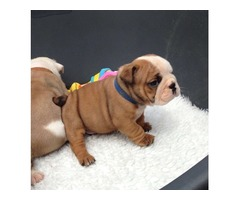 English Bulldog puppies for adoption.