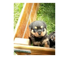 Top Quality Female and Male Rottweiler puppies