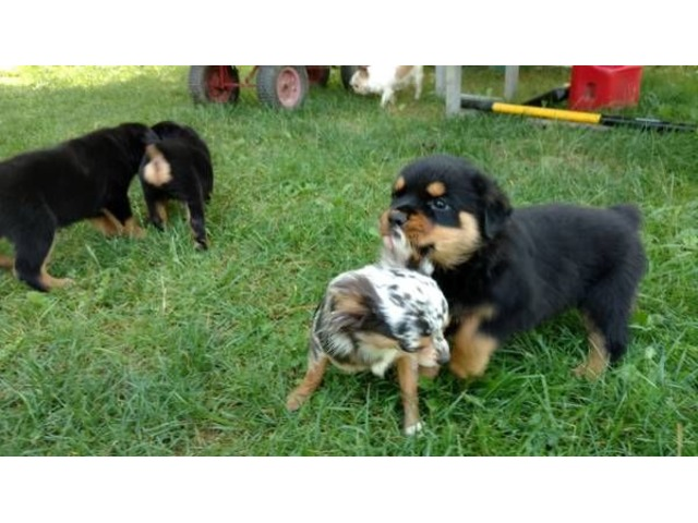 Well Trained Rottweiler Puppies Animals Albany Missouri
