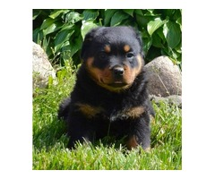 Gorgeous rottweiler Puppies available,