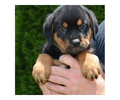 Cute and Adorable  rottweiler Puppies for Adoption,