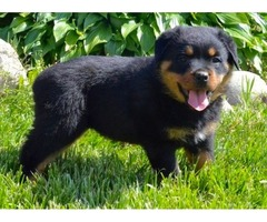 Magnificent male and female  rottweiler puppies