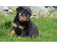 We have a litter of 2 fantastic  rottweiler puppies..