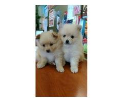 AKC Registered pomeranian puppies