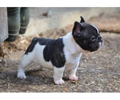 Lovely FRENCH BULLDOG puppies!