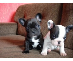 Lovely French Bulldog Puppies