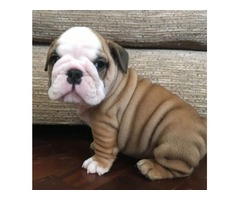 We are pleased to announce the safe birth of 7 English Bulldog puppies.
