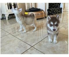 M/F Siberian Husky Puppies Ready