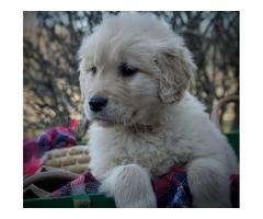 Commendatory Golden Retriever Puppies For Sale
