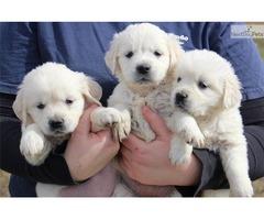 Bulletproof Golden Retriever Puppies For Sale