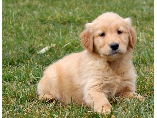 Fundamental Golden Retriever Puppies For Sale Animals Akron