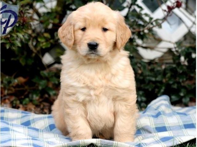 Four Star Golden Retriever Puppies For Sale Animals