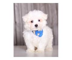 Amazing Maltese Puppies For Sale