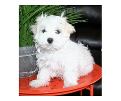 Dexterous Maltese Puppies For Sale