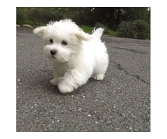 Consecrated Maltese Puppies For Sale