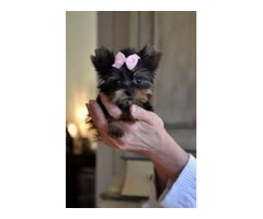 Tiny Yorkie available