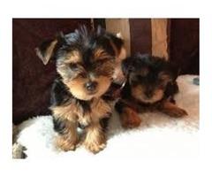 Tiny Quality Yorkie Pups now