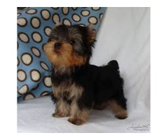 Teacup yorkie puppies for rehoming