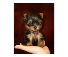 Tamed Teacup YOrkie