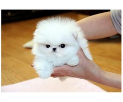 T cup pomeranian puppies just for you!!!!! :)