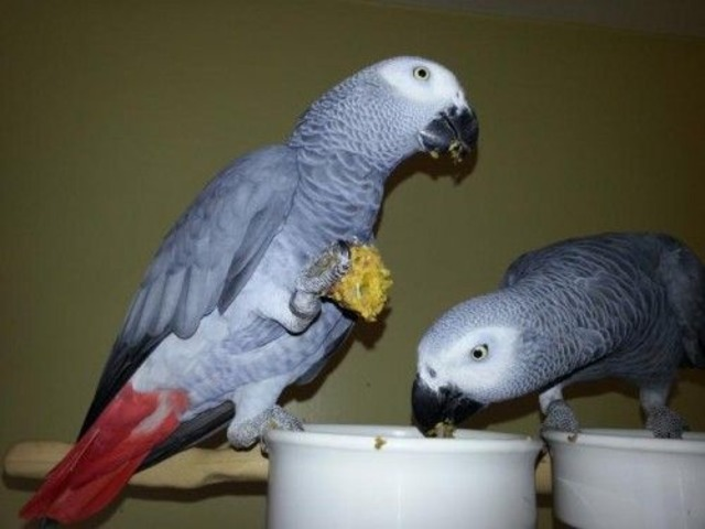 A fantastic take African gray parrots | free-classifieds-usa.com